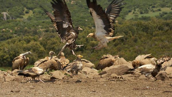andalucia-recluta-alimoches-con-huevos-de-avestruz-cedidos-zoologico-cordoba