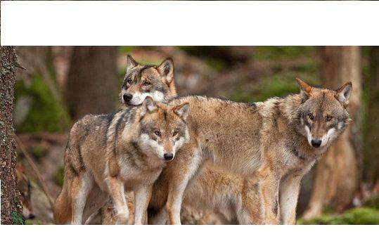 asaja-coag-upa-acusan-gobierno-condenar-ganaderia-extincion-blindar-al-lobo