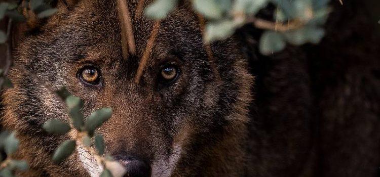 WWF celebra el fin de la caza del lobo y el nuevo camino hacia la coexistencia