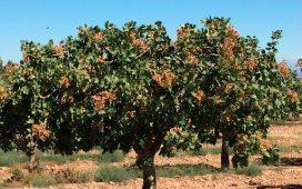 pistacor-asociacion-creada-villanueva-del-duque-para-cultivo-de-pistachos
